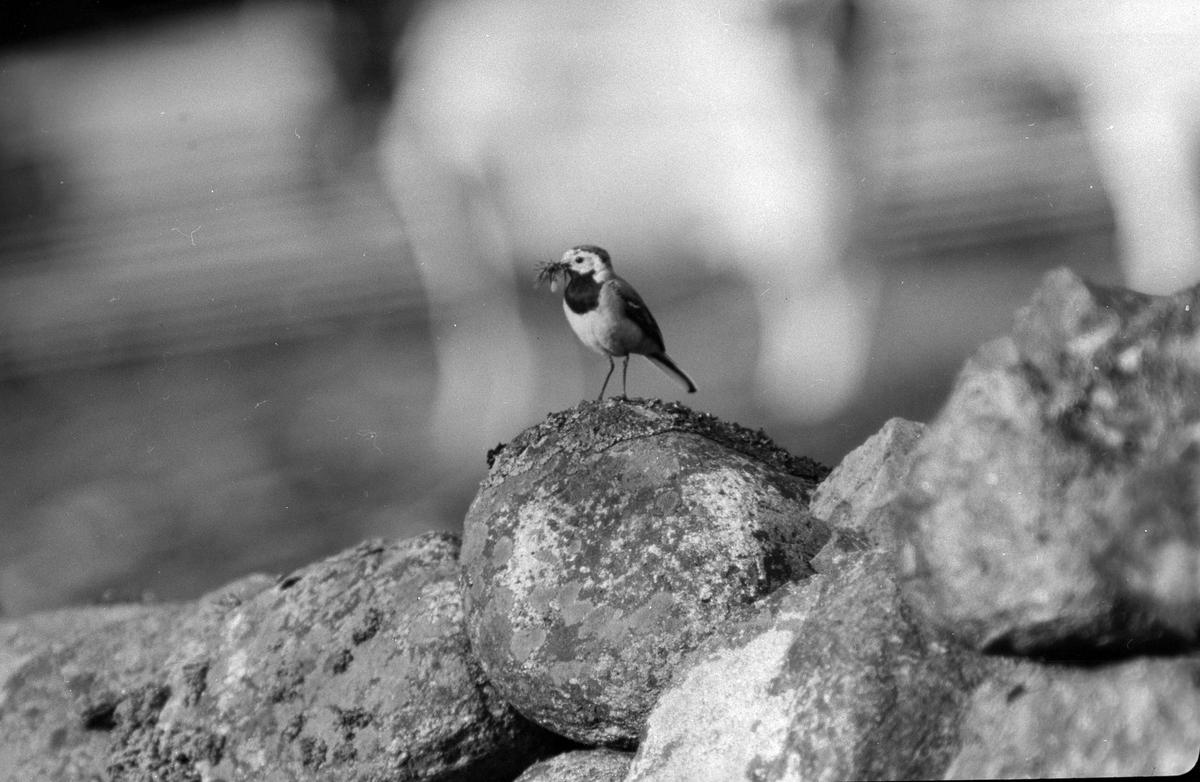 """En fågel med gräs i näbben sitter på ett litet stenröse. I fotografens anteckningar står det """"35 films fr. semester på Halö""""."""