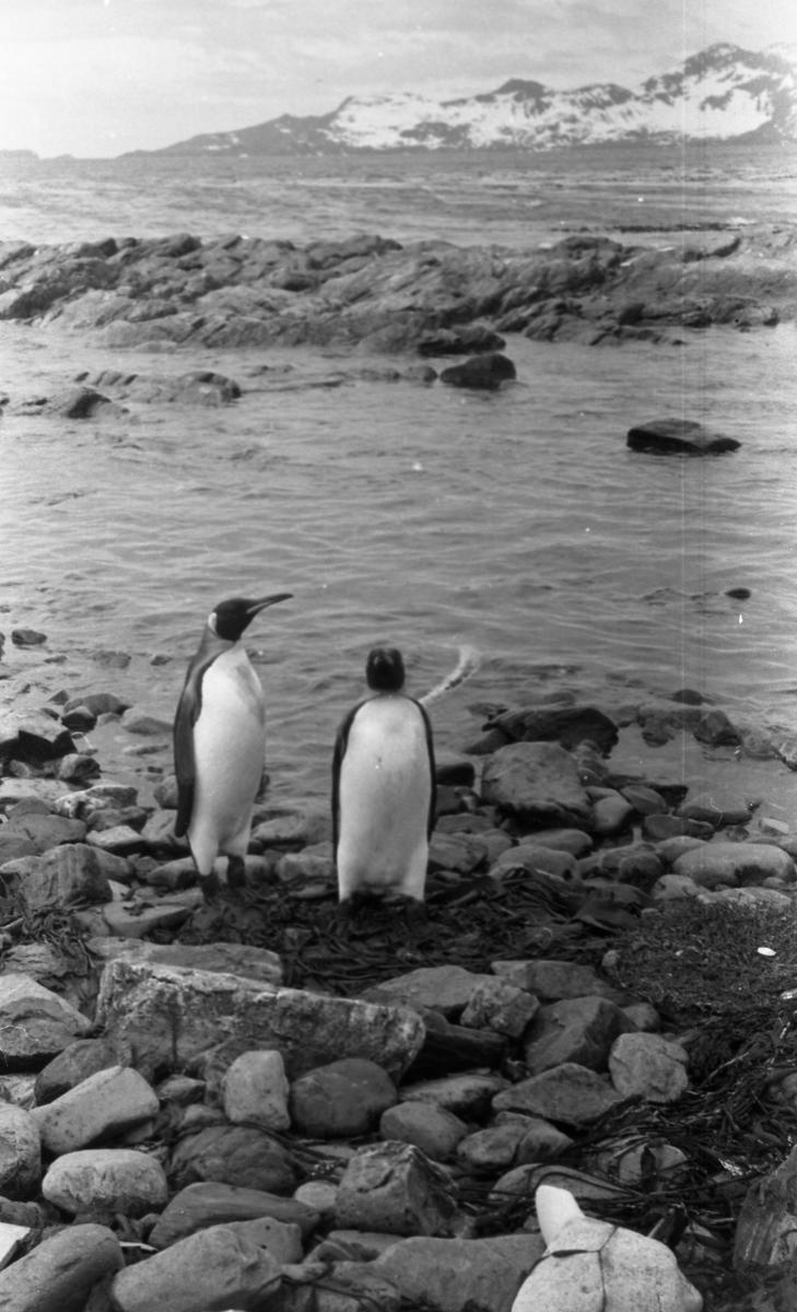 Pingviner på stranden. Fjell i bakgrunnen. Suderøy på vei til fangstfeltet.