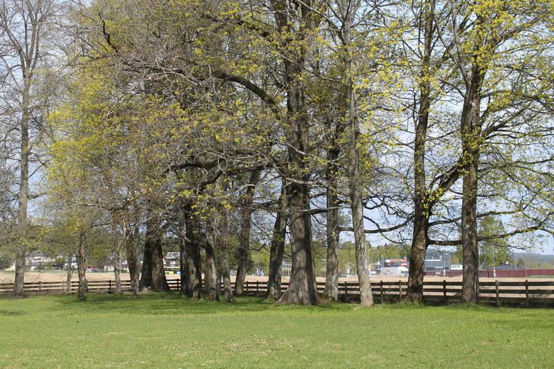I hagens nord-vestre hjørne står en klynge med eldre trær som har hørt til i en engelsk inspirert landskapshage med svingete stier. Foto MiA. (Foto/Photo)