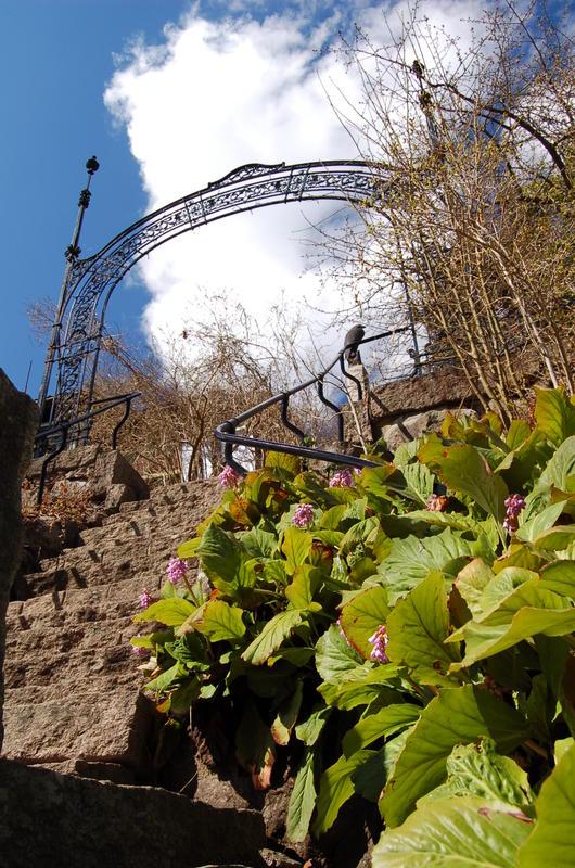 Bergenia ved granitt-trappen i museumshagen. Foto: Randi Malm