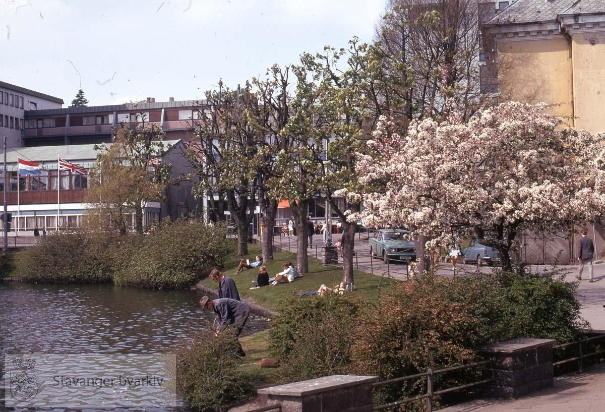 Japansk kirsebærtre ved Breiavatnet og posthuset