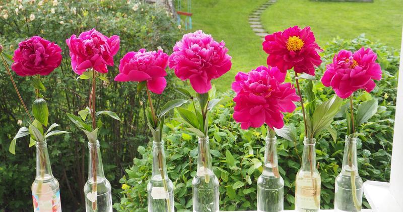 Bildet over viser variasjonen i blomsterform hos 'Agida', fra tettfylt til halvfylt. Foto: MiA. (Foto/Photo)