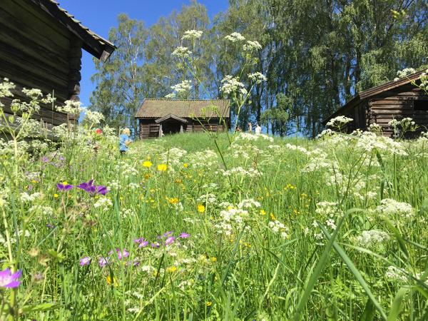 Hvamshaugen_blomstring_juni. Foto/Photo