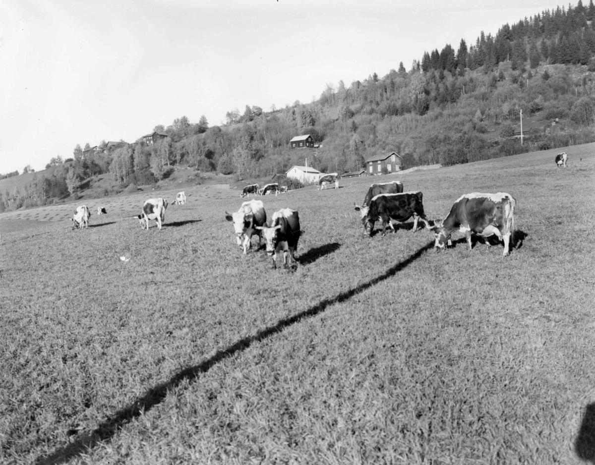 Kuer på høstbeite på Nordhove.