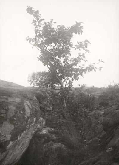 """Tryckt text på kortet: """"Sydkoster."""" """"Märklig oxel."""" """"Foto (D38) Dan Samuelson 1924. Köpt av dens. dec. 1958."""""""