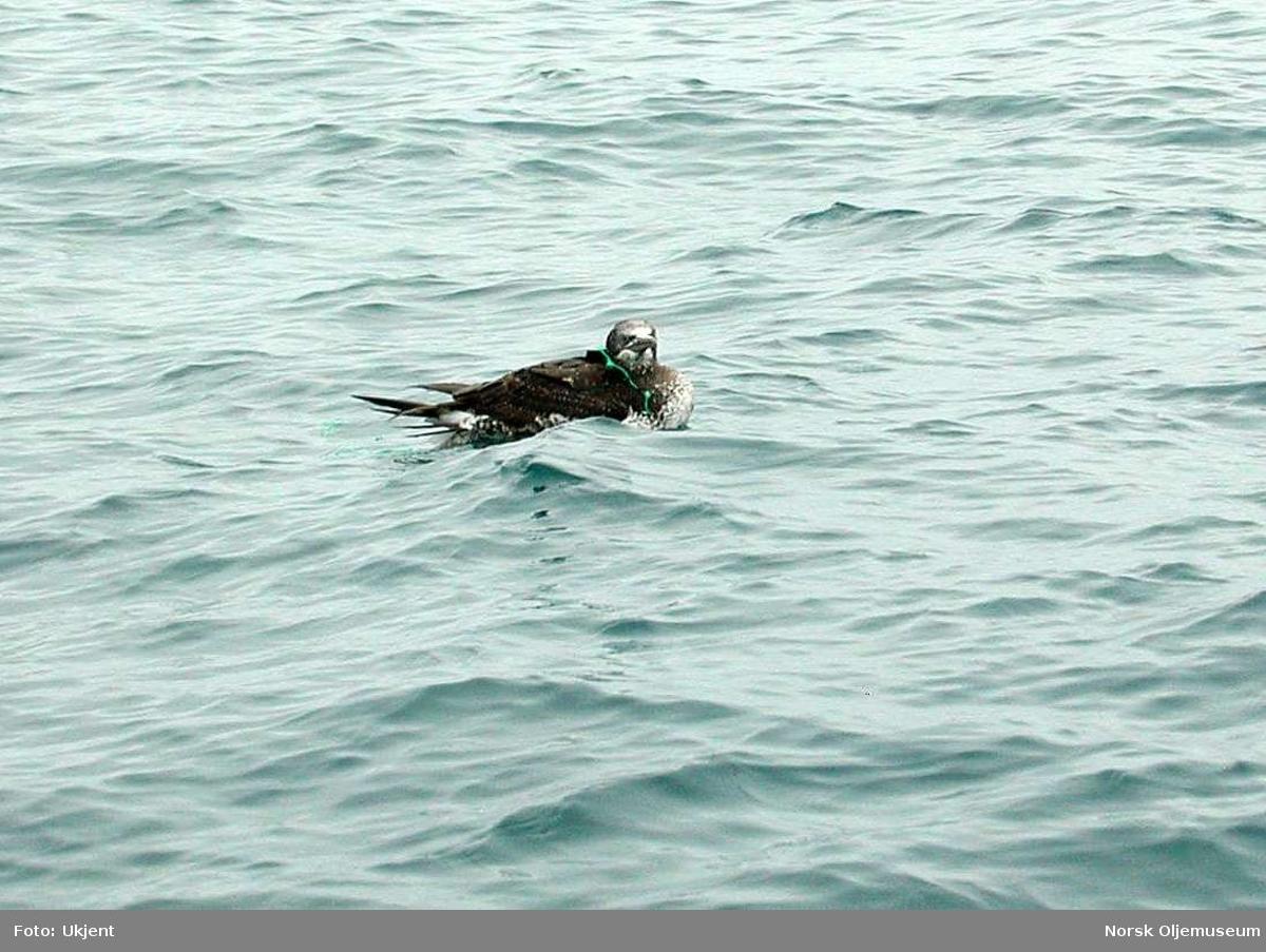 En ung Havsule svømmer rundt med nylongarnrester om kroppen.  Folkene på plattformen hadde observert en fugl som hadde viklet seg inn i restene av et fiskegarn.  Ved hjelp av lettbåten fanget de inn fuglen og befridde den fra garnet.