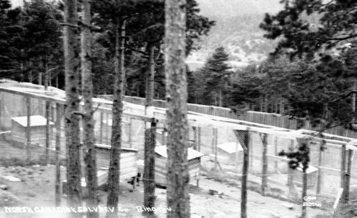 Norsk Canadisk Sølvrev co. Ringebu.