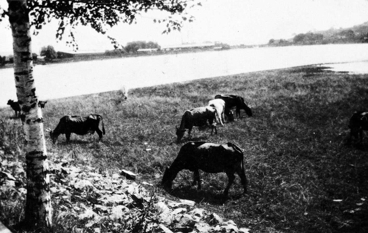 Nitelva Lillestrøm 1910. Sommer. Kyr på beite på Strømmensiden av elva. I bakgrunnen sagbrukene i Lillestrøm