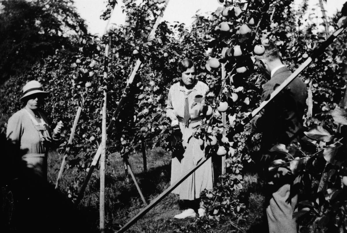 Gruppe 3 personer i eple hagen på Atlungstad gård i Stange.