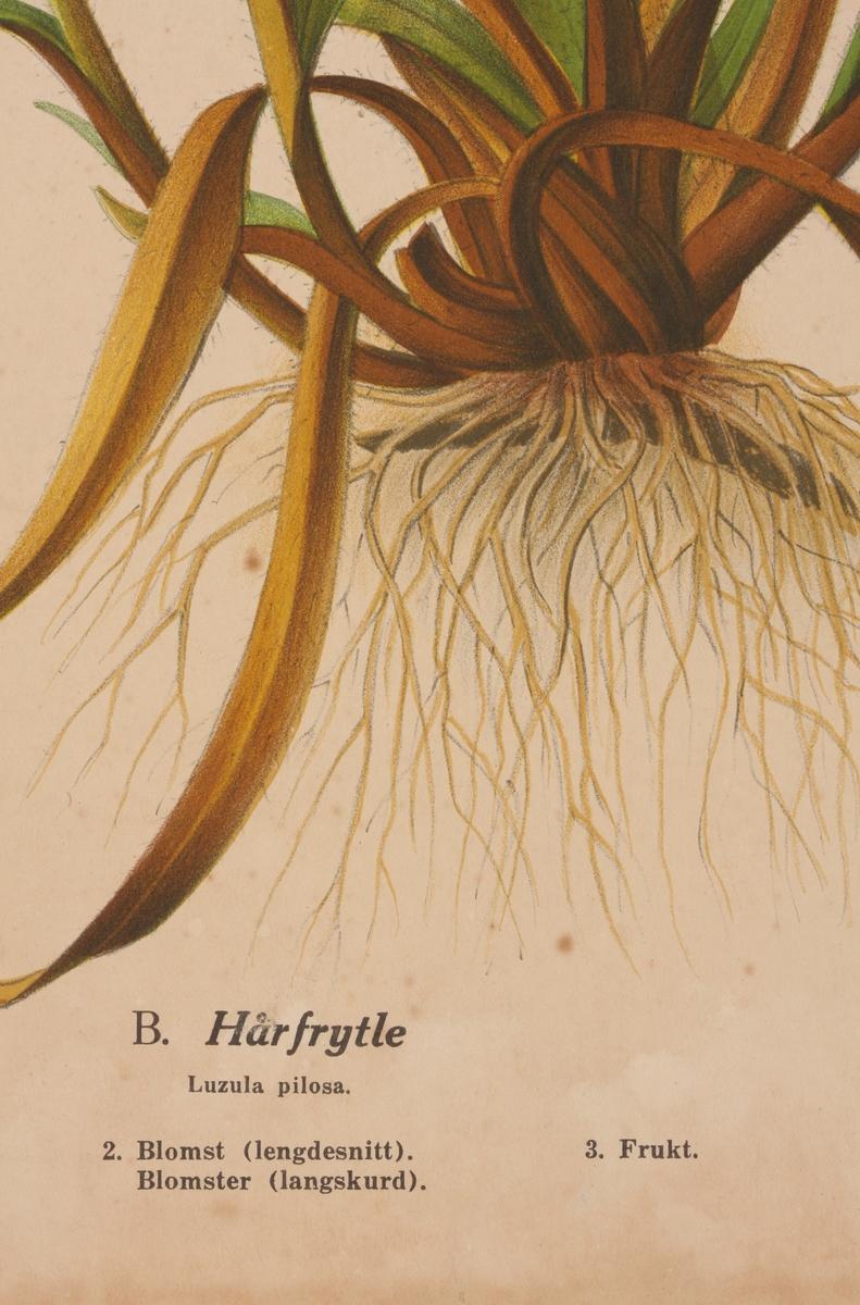 Bredbladet myrull og hårfrytle