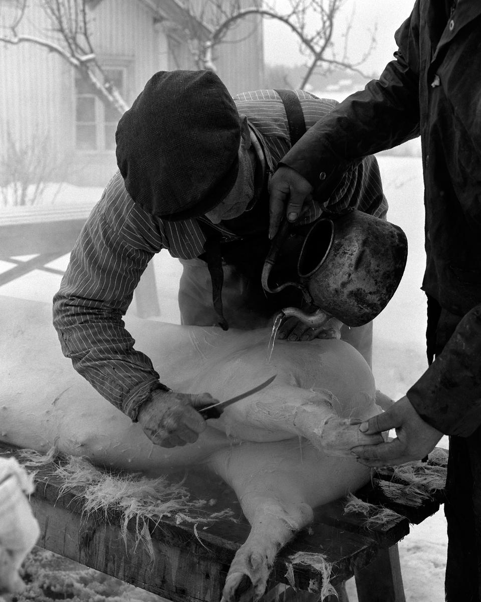 Dokumentasjon av griseslakting i 1977, på Lunde i Gaupen, Ringsaker. Bygdeslakter Johs. Rosenborg.Slaktebenk, skølling