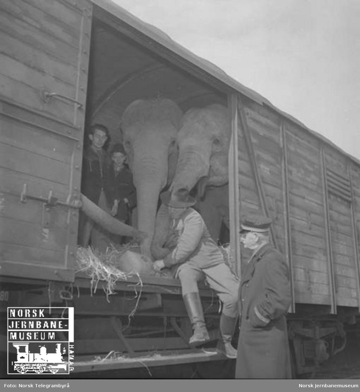 Elefanttransport i godsvogner